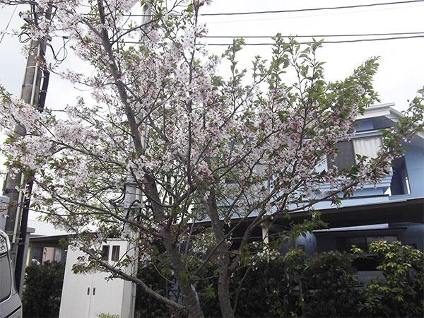 お花見 桜